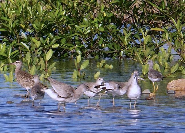 mangrove birds